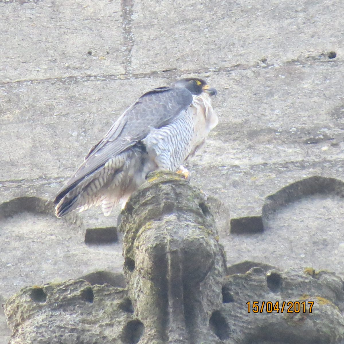 Shooting In Falcon Colorado: Peregrine Falcon Takes Up Residence At St Andrew's Church