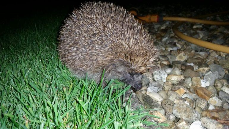 Volunteers wanted to help monitor dwindling hedgehog population