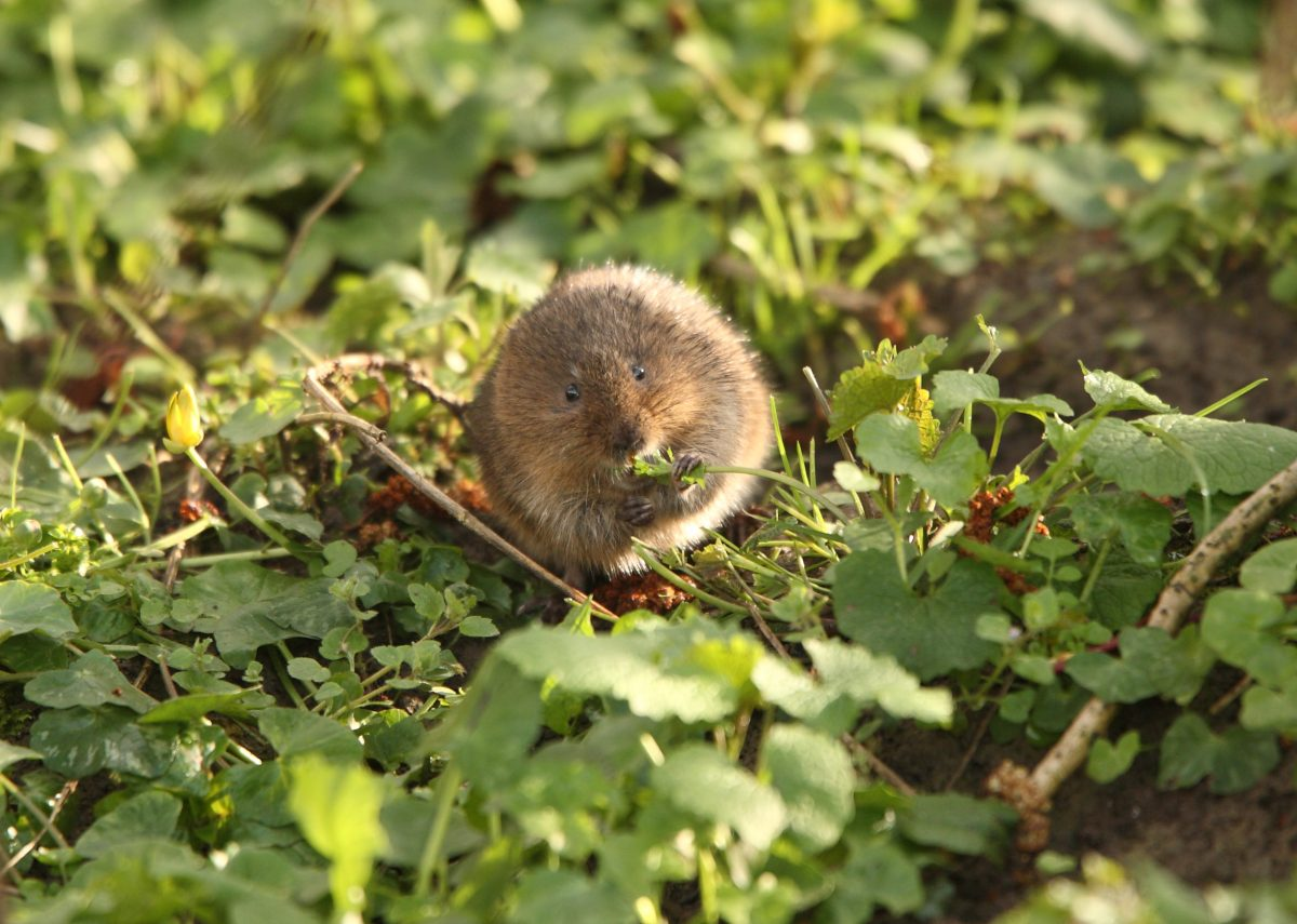 Wildlife: Plea for public to survey riverbanks this spring to help save our endangered water voles